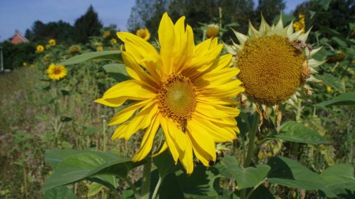 Frijthout zonnebloemen